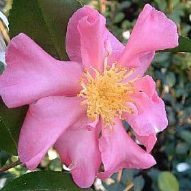 Camellia 'Rosea' - Find Azleas,Camellias,Hydrangea and Rhododendrons at Loder Plants